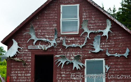 moose-antlers
