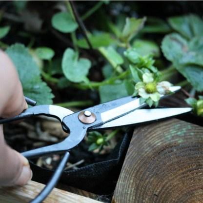 grand ciseaux de cuisine pinceur noir pour récolter les fraises cultiver sur le balcon