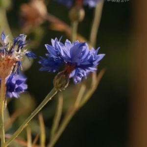 graine bio de bleuet bleu blauer junge