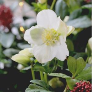 hellébore blanc planter en pot au balcon, vente plantes en ligne