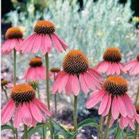 graines échinacée fleurs comestibles box jardinage balcon, échoppe végétale