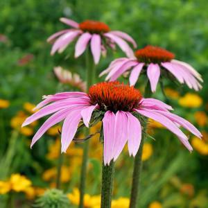 graines de fleurs mellifères pour balcon : les échinacée