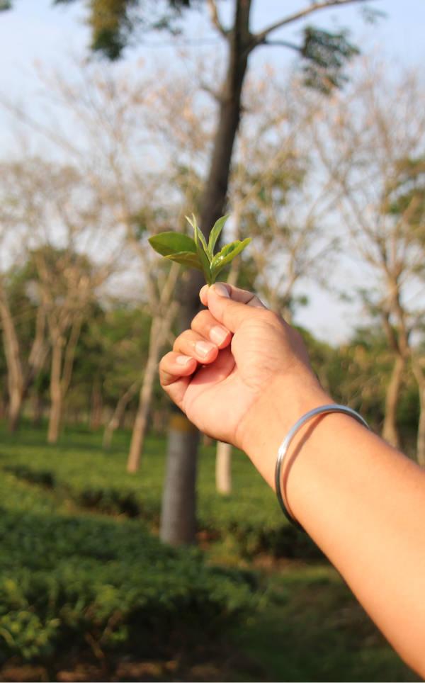 brin de thé noir encore vert dans la main