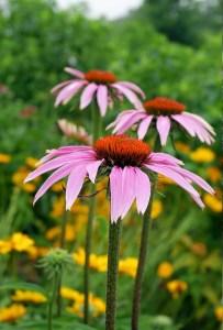 faire pousser des plantes médicinales au balcon : échinacée fleur rose des chmaps au coeur jaune