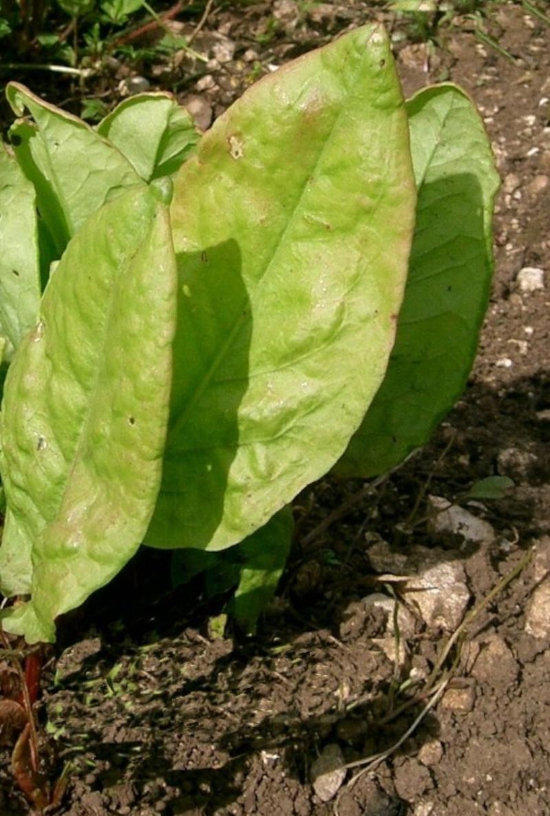 semence bio d'oseille pour potager de balcon