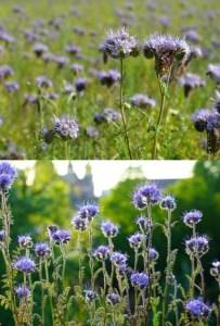 semer des fleurs melliefres de phacélie sur balcon pour les abeilles / fleurs bleues