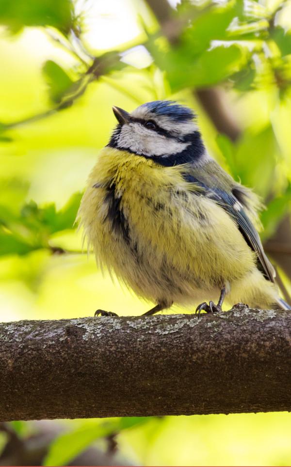 petite mésange bleue sur un arbre