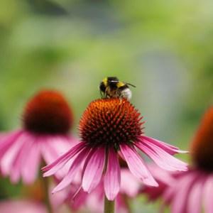 abeille qui butine pollen sur echinacee