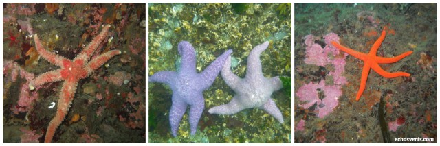 étoiles de mer- canada- copyright- échos verts