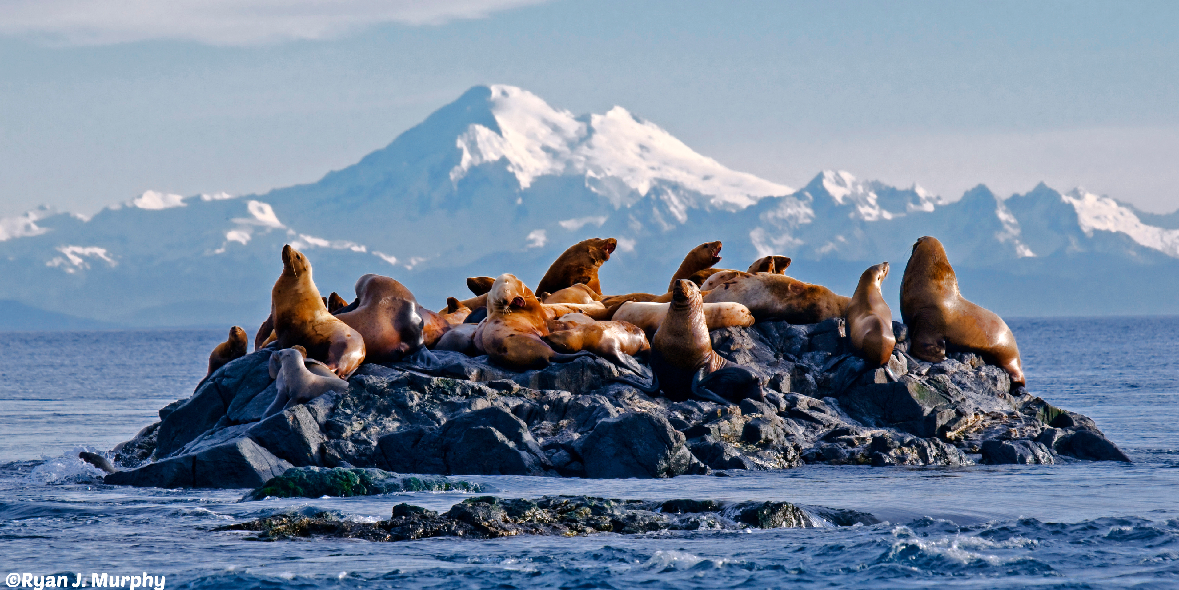 Sea lions- mountains- echos verts- ©Ryan J. Murphy