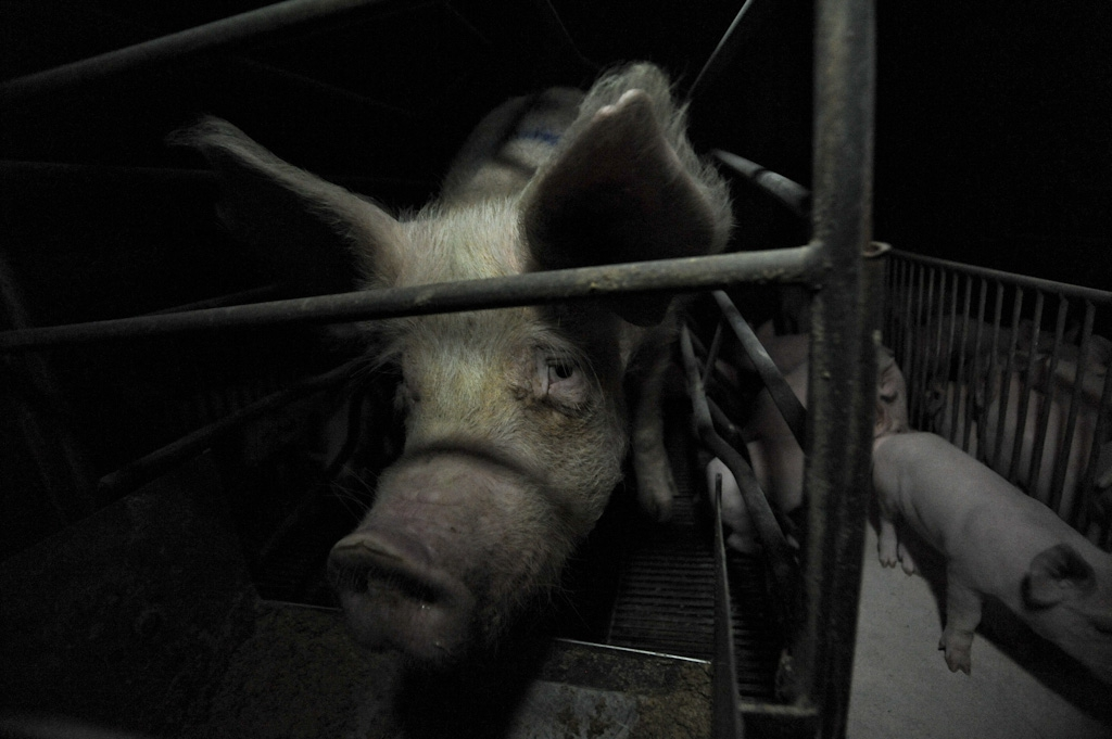 Cochon © Jo-Anne McArthur, We animals