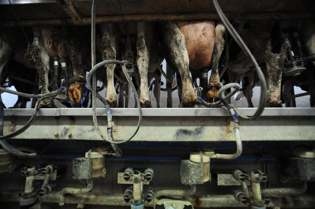 JMcArthur_DairyVealFarm_-0329 We animals