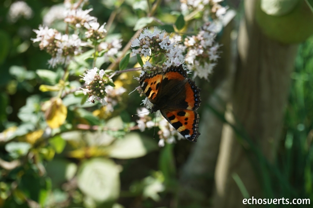 Papillon echosverts.com