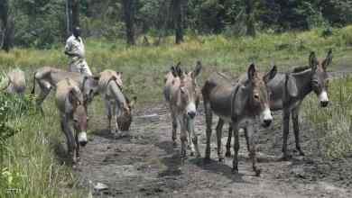 صورة بسبب المادة الخارقة.. الصين تلاحق الحمير في أفريقيا