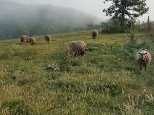 Sheep grazing in our peaceful valley.