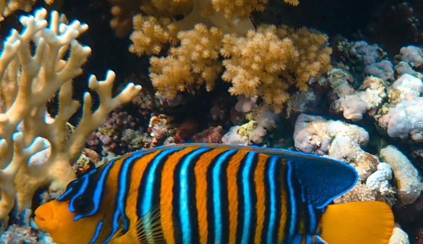 Fresh Water Fish - Angelfish
