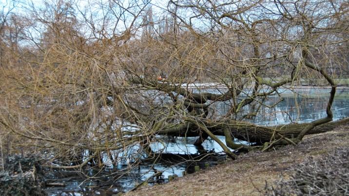 Im Wasser hänender Baum am Stadtgraben