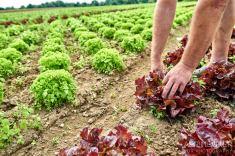 Salat ernten auf den Feldern von der Gemüsescheune Wolfenbüttel