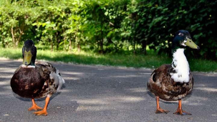 Zutrauliche Enten am Stadtgraben.