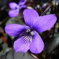 violet_image