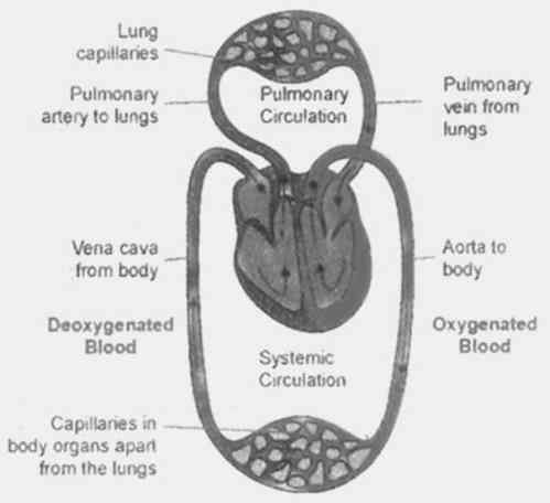 DOUBLE CIRCULATION AND FUNCTION OF BLOOD OF PROVIDE OXYGEN