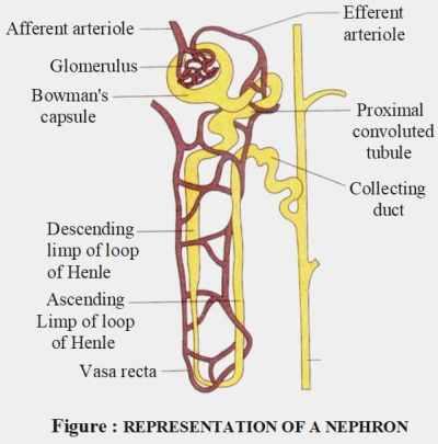 Respiration of Nephron