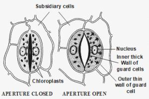Opening and Closing Stomata