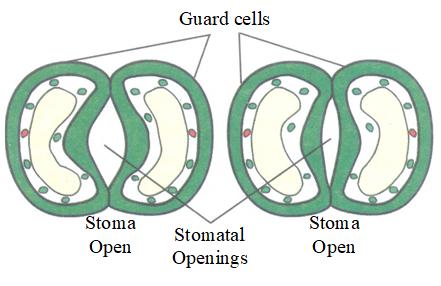 Stomal Apparatus