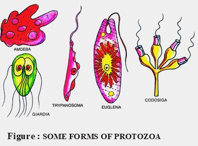 forms of protozoa