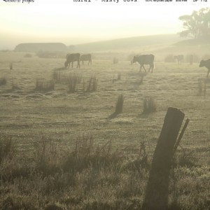 Rural Misty Cows