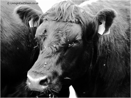 Rare breed cows
