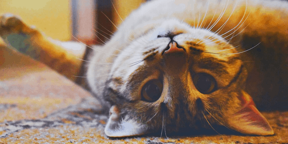 A cat laying on the floor looking at your upside down