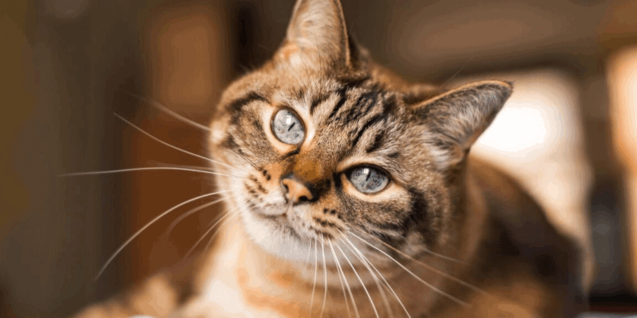 A cat with beautiful blue eyes looking at you inquisitively