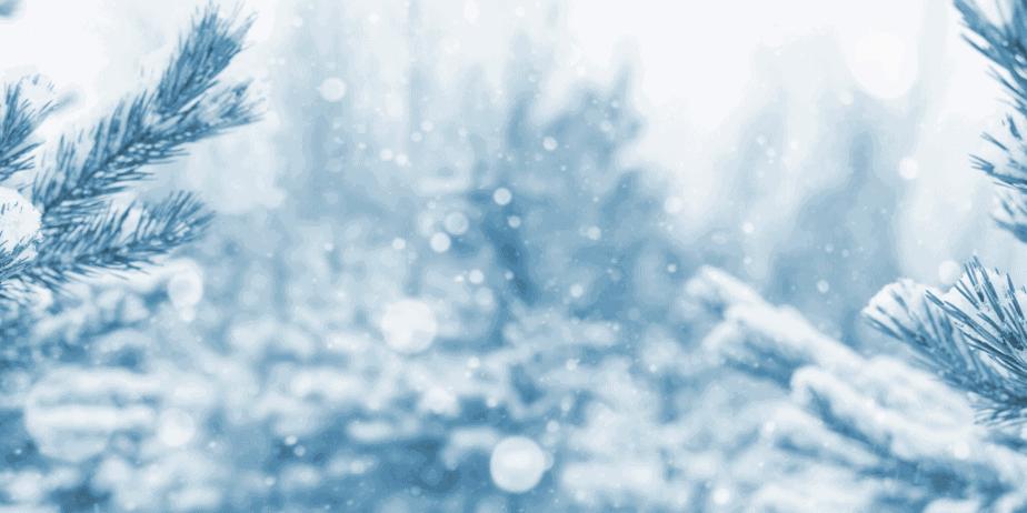 Snow covered pine tree needles.