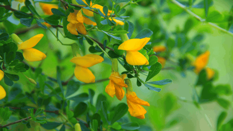 Decorative image of Acacia plants