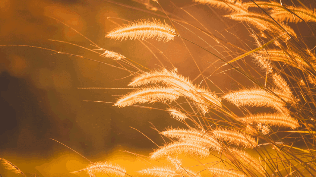Decorative image of wheat ready to be harvested for Lughnasadh