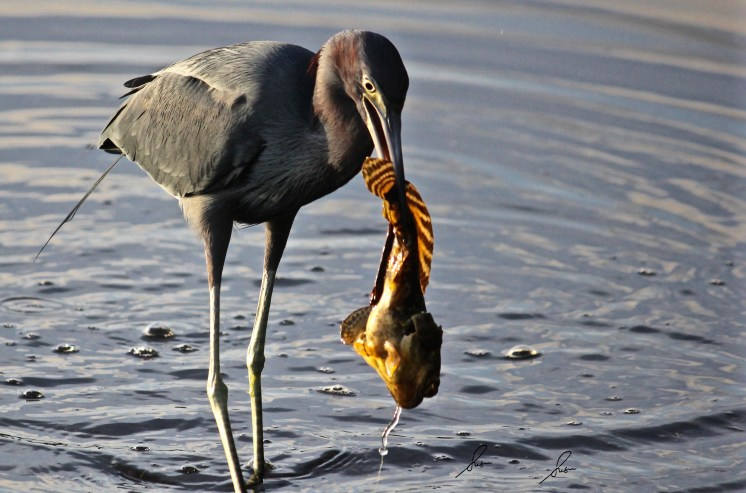 Little Blue Heron -Big Catch