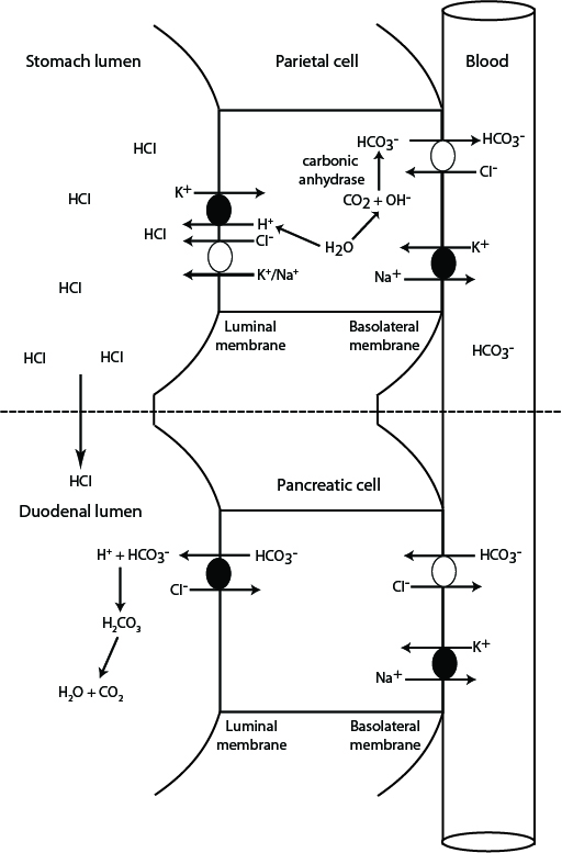 HCl production and neutralization in the gastrointestinal