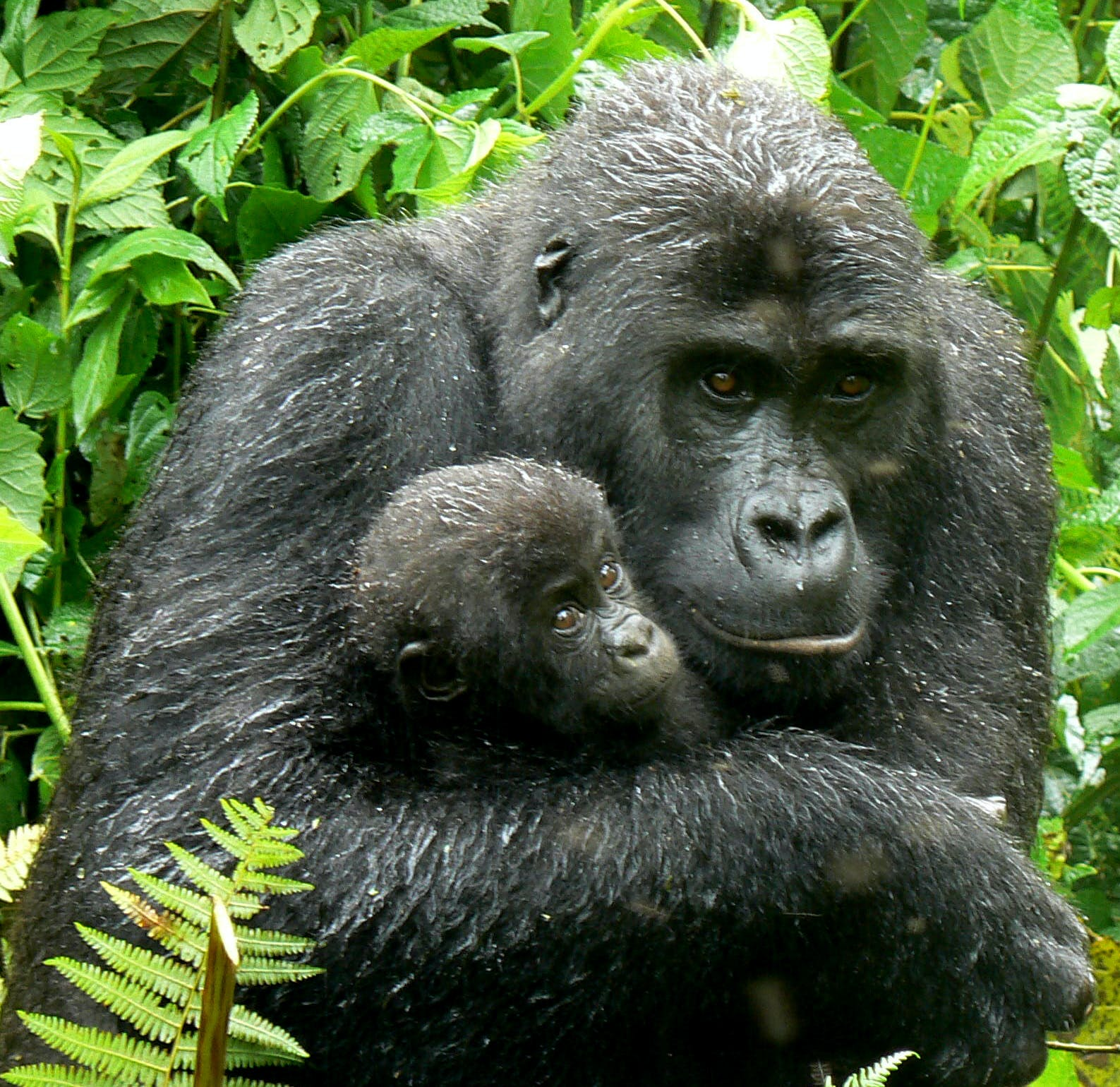 Cellphones Are Endangering Gorillas But Recycling Old Ones Can Help News Eco Business Asia Pacific