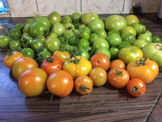 Rijpe en onrijpe tomaten