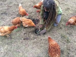 Bosbessen planten in ons voedselbos met kippen
