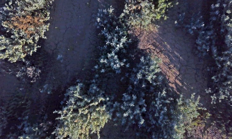 Low-level aerial view of saltbush on the plain at Burrima