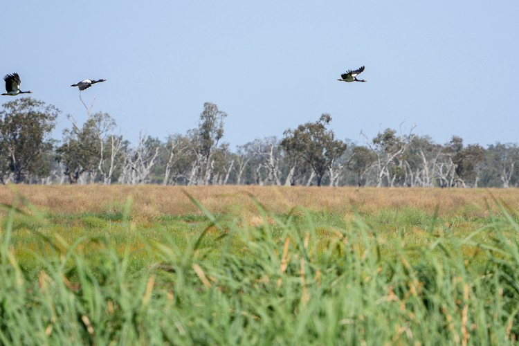 Magpie geese fly above the Monkeygaa Swamp, Gibson Way