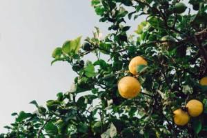 kako-uzgojiti-limun-iz-koštice