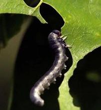 Joe Elkinton winter moth caterpillars population study featured in Boston Globe