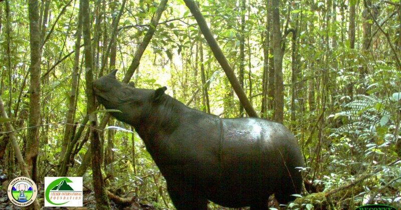 "Doctoral Student, Wulan Pusparini's, Research ""Saving the Last Groups of Wild Sumatran Rhinoceros"" Featured"