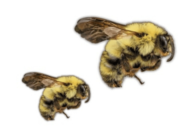 Joan Milam, Susannah Lerman, and Anne Averill's Bee Research Featured in UMass Magazine