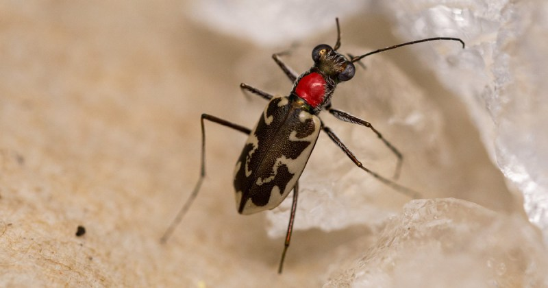 Recovery Effort for the Endangered Puritan Tiger Beetle