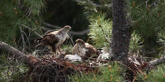 águias-de-bonelli