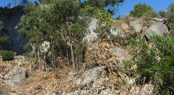 biomasse eucaliptos